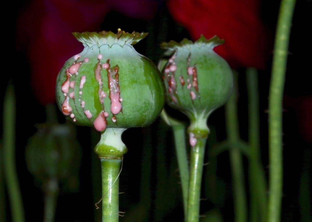 SOURCE: Taylorsville Time – Police have seized over 2,000 poppy plants in North Carolina.